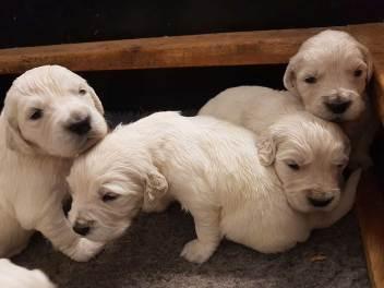 golden pups 19 jan5