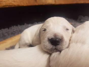 golden retriever pups nula1