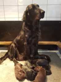 flatcoated pups 1
