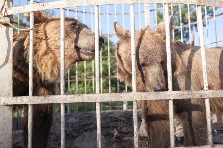 Albánští medvědi