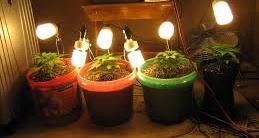 cannabis home grow