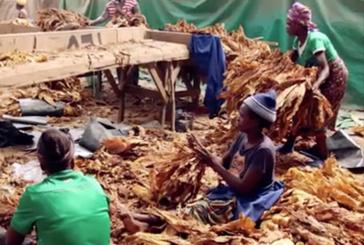 TABAC : Au Zimbabwe, le travail du tabac empoisonne les enfants !