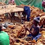 TOBACCO: In Zimbabwe, tobacco work poisons children!