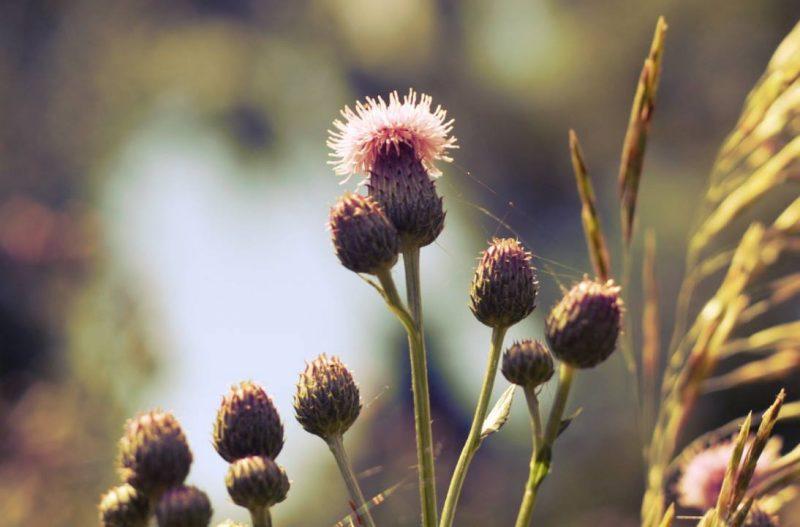 chardons des champs québec fleurs sauvages