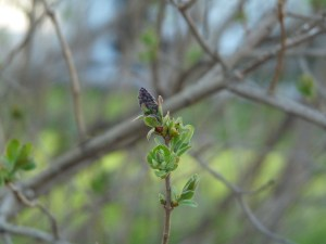 A Lilac Bud ready to burst.