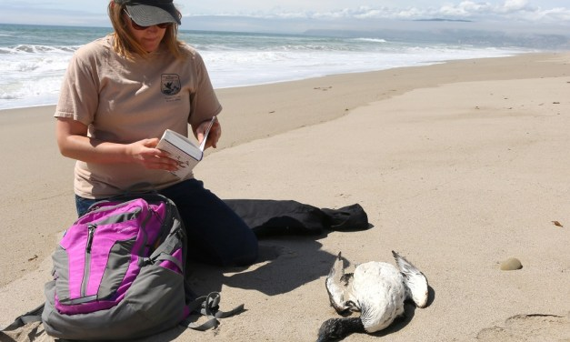 ALGAE BLOOM OF DOOM | Birds, seals and other sea life affected by possible domoic acid poisoning off Ventura coast