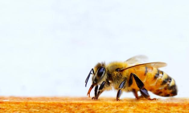 THE WONDER OF QUEEN BEES   Local scholars study hive habits as bees advance medical research