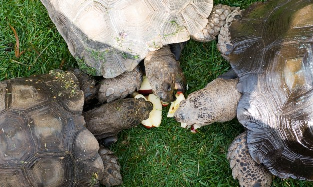 KINDNESS CORNER | Volunteers needed to care for tortoises