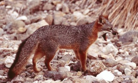Endangered island fox population rebounds