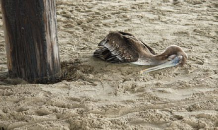 Formerly endangered brown  pelicans struggle to survive