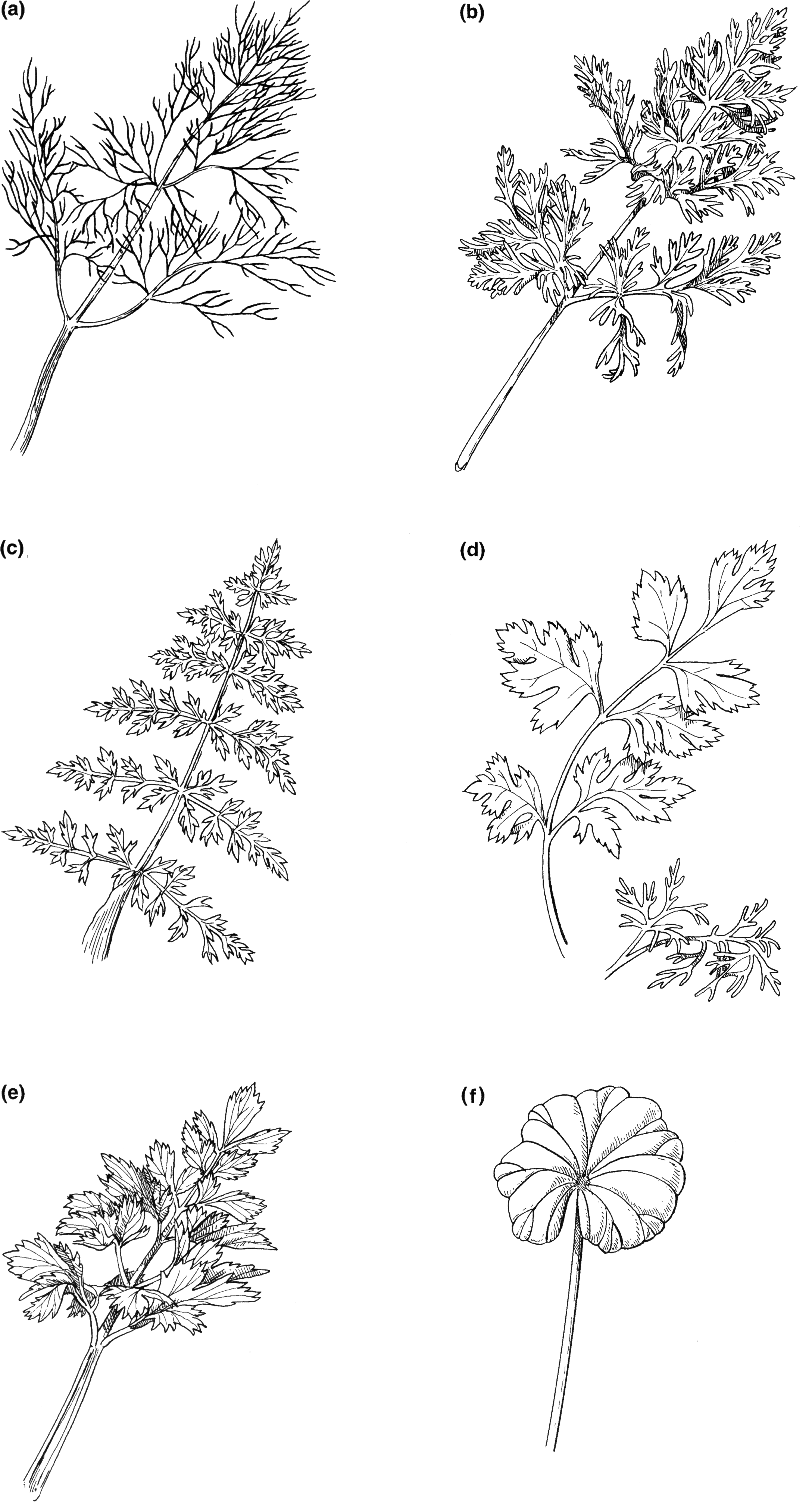 Images From Carrots And Related Vegetable Umbelliferae