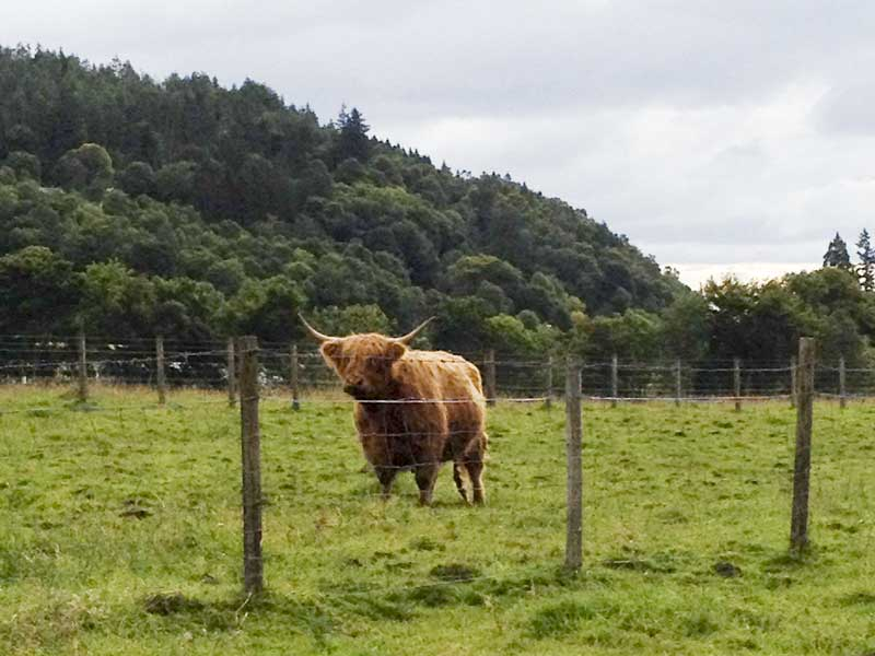 the iconic and beautiful Highland cattle of Scotland