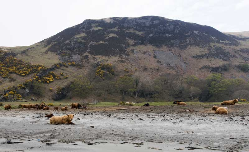 free roaming Highland cattle on the beach