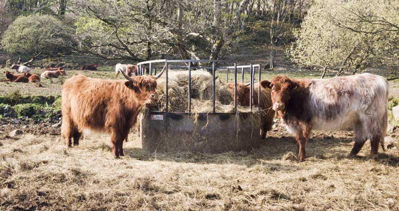 Highland cattle grabbing a bite to eat
