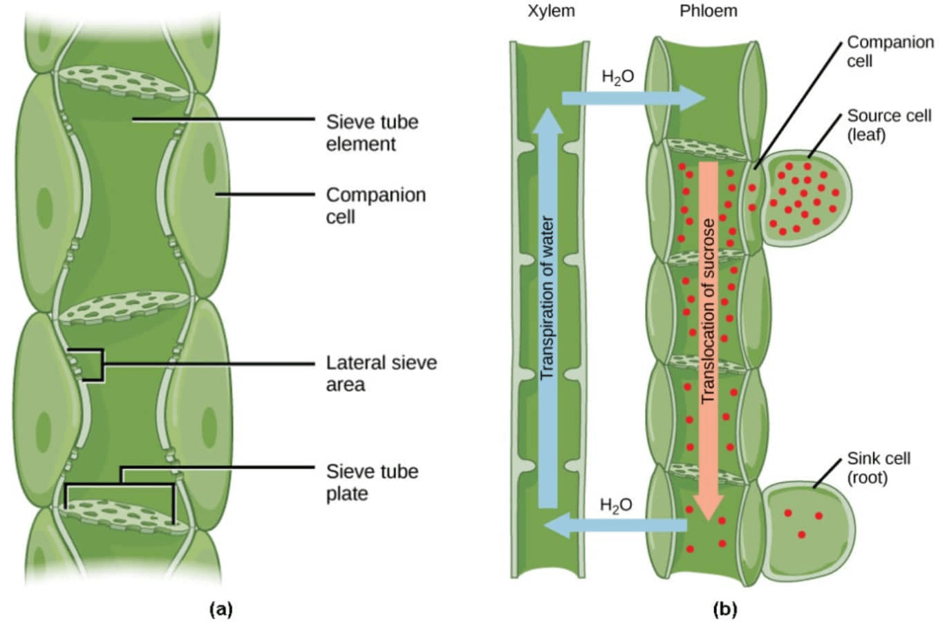 Difference Between Xylem And Phloem