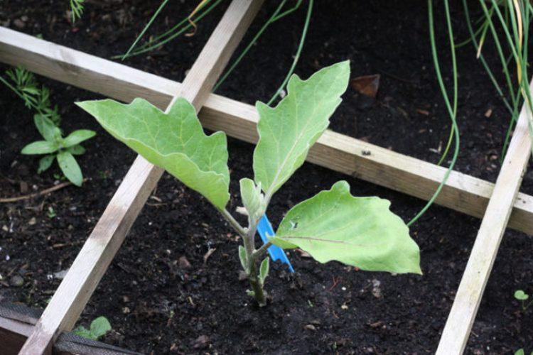 10 aubergineplant-700x466