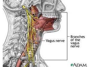 El nervio Vago se activa gracias al bostezo.
