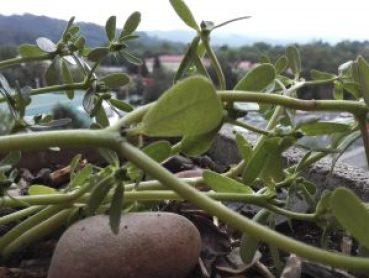 Detalle de la Planta de la Verdolaga