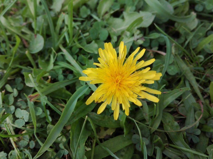 Flor de Diente de León