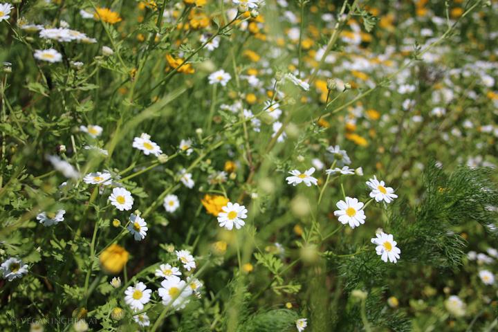 Mutterkraut, Artenvielfalt in Rankweil, Vorarlberg