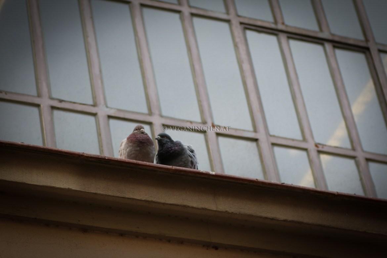 Tauben Barcelona veganinchen