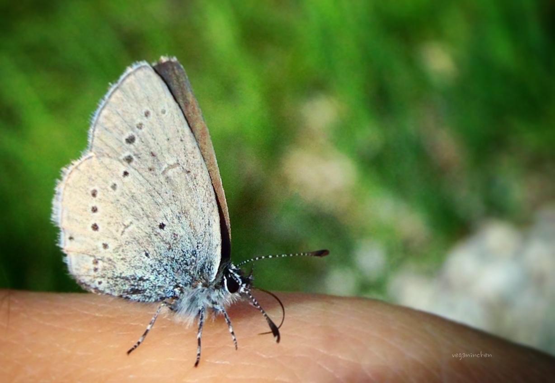 veganinchen Schmetterling