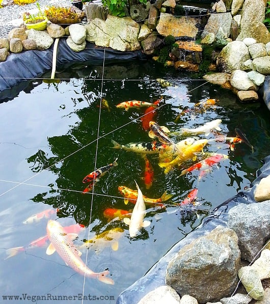 Koi Pond in Friday Harbor, SAn Juan Island, WA