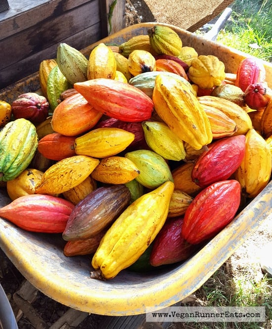 cacao-pods-at-the-original-hawaiian-chocolate-factory-and-farm