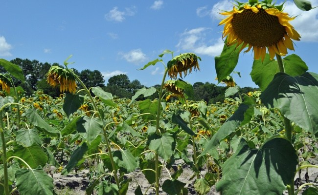 These Are a Few of My Favorite Things: <b>Sunflowers</b>