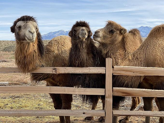 """Canna-Camels,"" Ultimate Cannabis-and-Camel-Themed Day Trip from Las Vegas, Now Available at Desert Ranch Experience by Camel Safari"