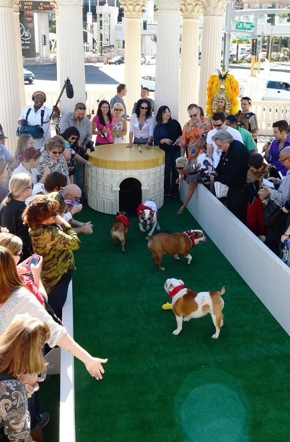 """Bulldogs race toward a doghouse replica of The Colosseum at Caesars Palace during the inaugural """"Running of the Bulldogs"""" at Caesars Palace in Las Vegas on Saturday, Sept. 28"""
