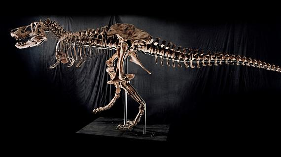 """Tyrannosaurus Rex Skeleton """"Samson"""" to be auctioned at The Venetian Oct. 3"""