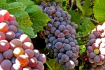 Dazzled by Pink Pinot Gris…What?