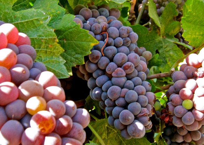Vino Farms of Lodi - Pinot Gris grapes