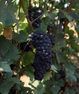 Pinot Meunier grapes.