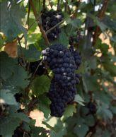 Pinot Meunier grapes.