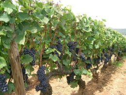 Pinot Noir grapes, Burgundy.