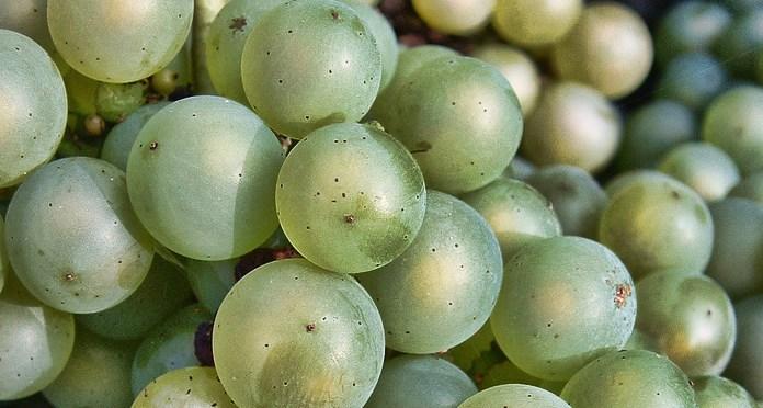 Chardonnay Grapes Close Up