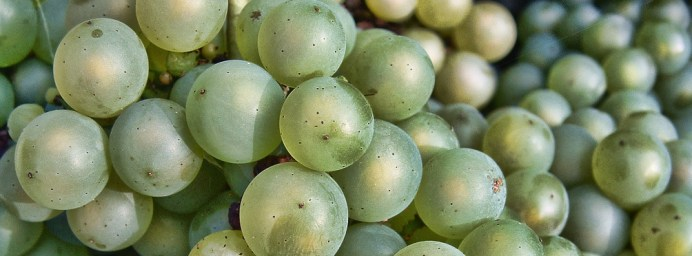 Chardonnay Grapes Close Up