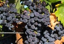 Merlot grapes on the vine (Wikipedia)