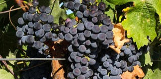 Merlot grapes on the vine (Wikipedia)