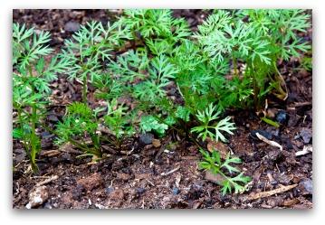 young carrot seedlings growing in vegetable garden
