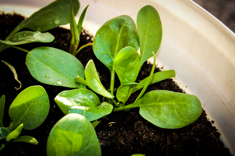 young spinach plants growing in container vegetable garden