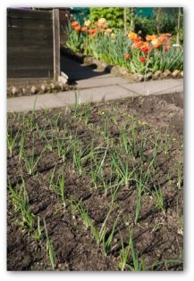 Vegetable Garden Pictures Onions