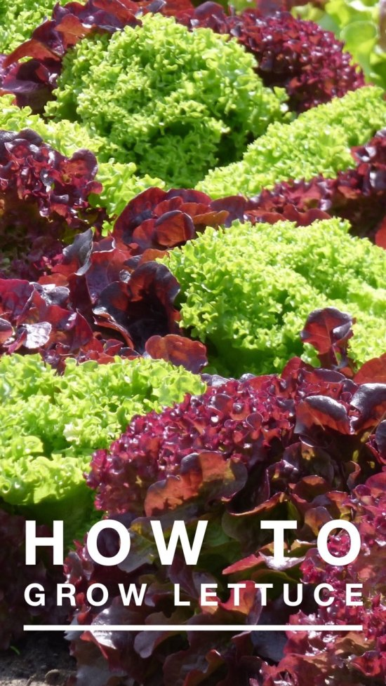 learn how to grow lettuce