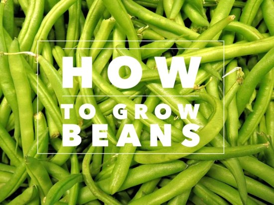 how to grow beans garden
