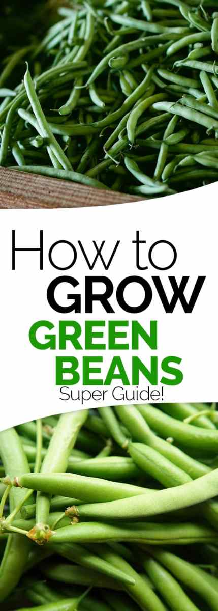 How to grow beans for Indoor gardening green beans