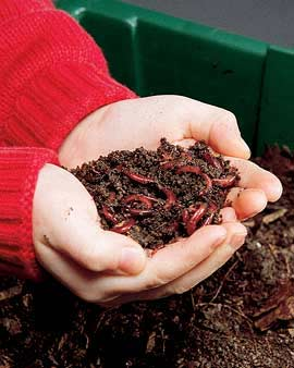 Red Wiggler Worms Are Best for Composting