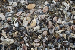 Shells and conchs