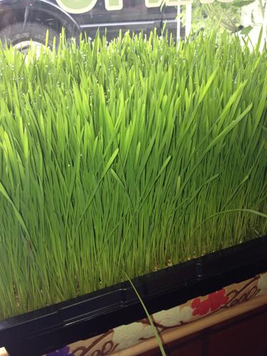 Wheat Grass At Its Peak!